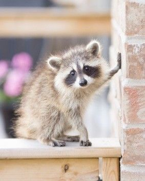 An All-Natural Raccoon Repellant: Spices. They are cute, but I think Chelsea is going to get in some serious trouble trying to attack them.