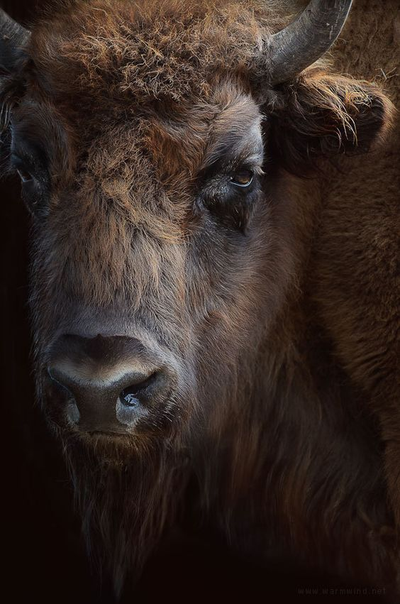 Stunningly beautiful bison...♡! Photography is awesome! <pin by Jainet Gaines on For the Love of Animals>