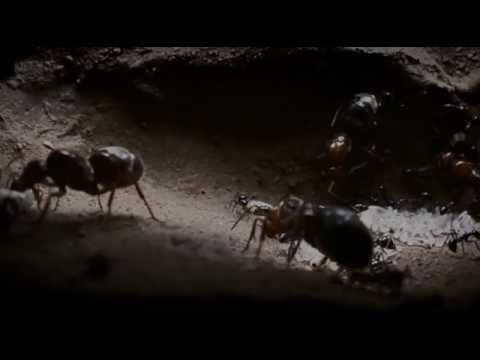 Natural World visits the Arizona desert, where a new honey ant queen wages an intense battle for survival as she attempts to build and defend her empire. Eliminating rivals with ruthless efficiency, sacrificing thousands in her quest for domination, murder, cannibalism, genocide - she will do anything to keep her crown.    Empire of the Ants is th...