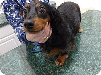 Portland, OR Dachshund. Meet LICORICE a Dog for Adoption