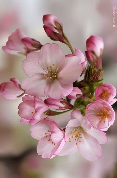 Cherry Blossom Flowers Flowers Photography Pretty Flowers