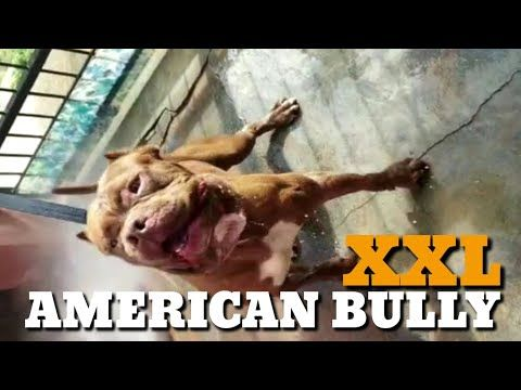 Awesome American Bully Puppies Amazing Quality Beautiful Wrinkles Friendly Playful Bullies Youtub American Bully American Bully Classic Beautiful Wrinkles