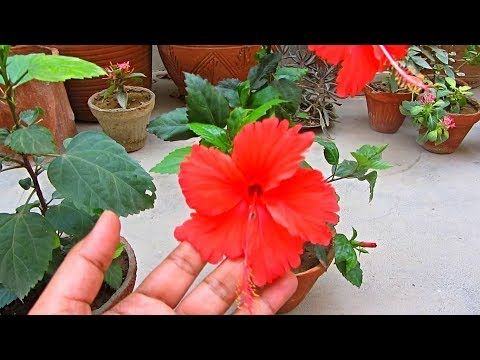 Fertilize Your Hibiscus Plant For More Blooming Urdu Hindi Youtube In 2020 Hibiscus Plant Hibiscus Plants