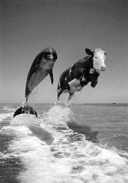 Cow lost at sea have been reported by sailors for many years adapting to their new life with the help of the dolphins. now we finally have proof! ~:^D>