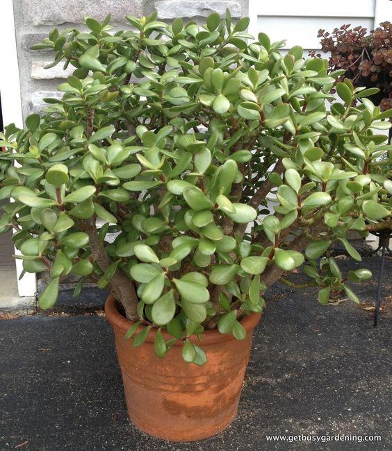 jade plants jade and plants on pinterest. Black Bedroom Furniture Sets. Home Design Ideas