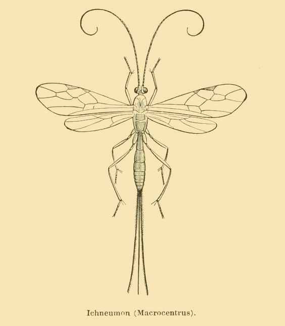 ichneumon fly drawing
