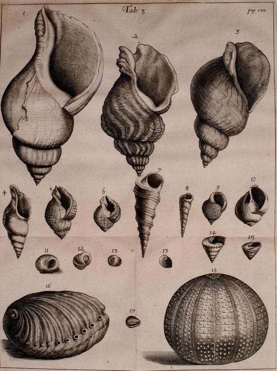 Old shells illustration