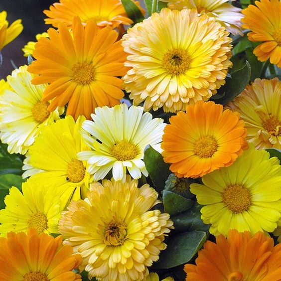 Calendula Citrus fruit  flowers - Annual Flower Seeds.                                                                                                                                                                                 More: