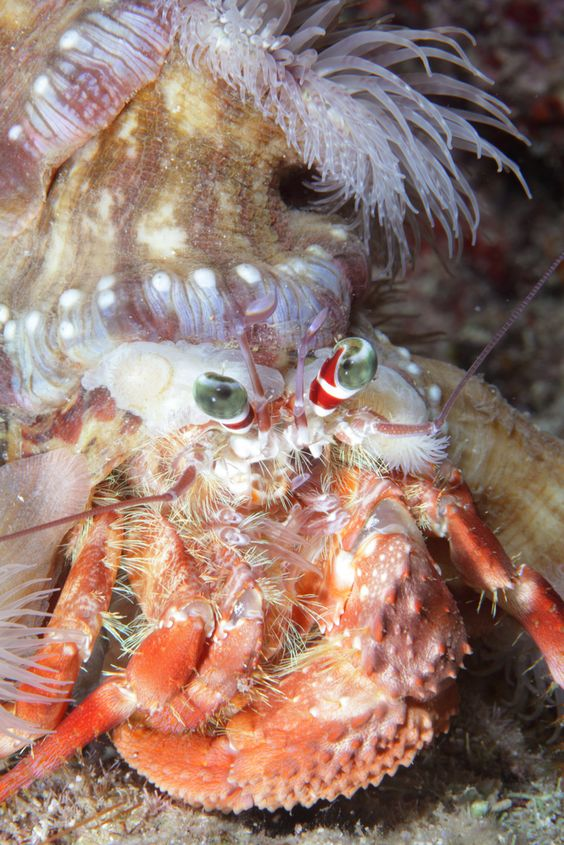 Hermit Crab   da PacificKlaus