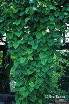 Dutchman 39 s pipe vine evergreen zone 4 8 ok with shade for Evergreen climbing plants for privacy