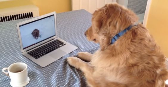 A golden retriever is confused by the sound of a squeaky toy in a video playing on a laptop.