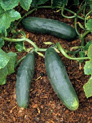 Ridge cucumbers are cultivars that are grown in ridges or hills. These are grown without support and allowed to ramble. They have tough skins and small spines.