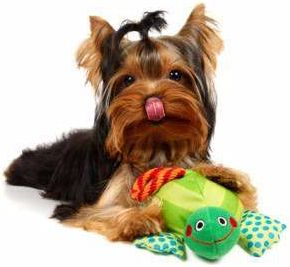 Yorkie with toy Yorkies and stuff Pinterest Health