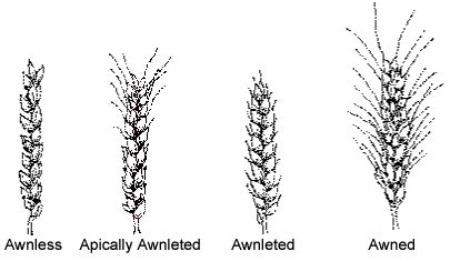 wheat Inflorescence
