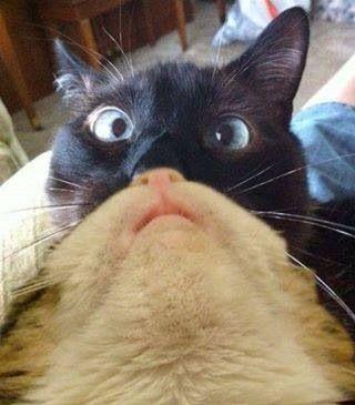 #CatBearding