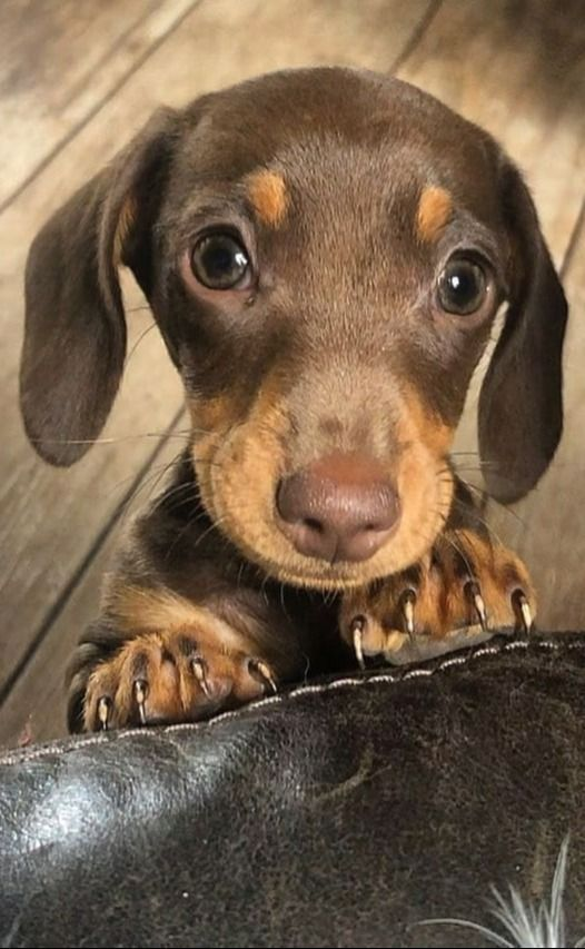 Top Funny Moments Showing That Dachshunds Are The Cutest Dogs