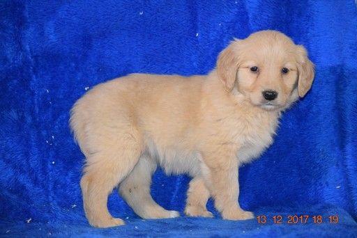 Golden Retriever Puppy For Sale In Fredericksburg Oh Adn 56654