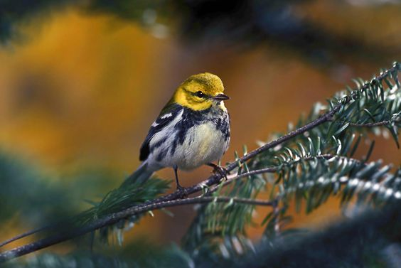A common black throated green warbler of the sparrow bird family between fir branches.