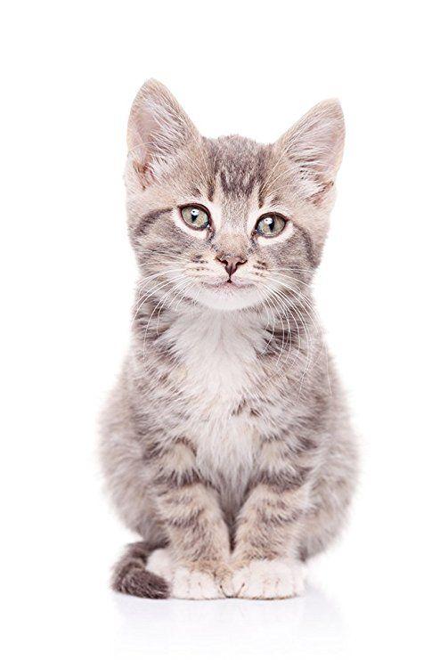 Pixblick Susses Katzchen Hochwertiges Wandbild Acrylglas 30 X 45 Cm Katzen Katzenspielzeug Katzenbaum Kaufen Katzenbilder Katze Grey Cats Cats Cat Stock