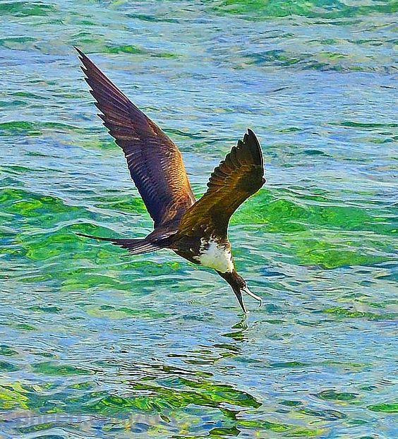 Cayman | CAYMAN BIRDS IN FLIGHT | Pinterest | Grand Cayman and Brown