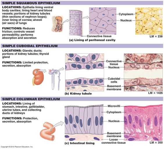 Old Fashioned Anatomy Epithelial Tissue Picture Collection - Anatomy ...