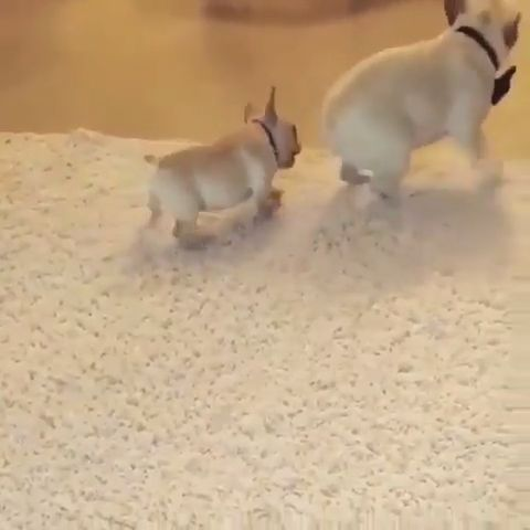 French Bulldog Puppy Playing With Mother Cute Dog Videos Super