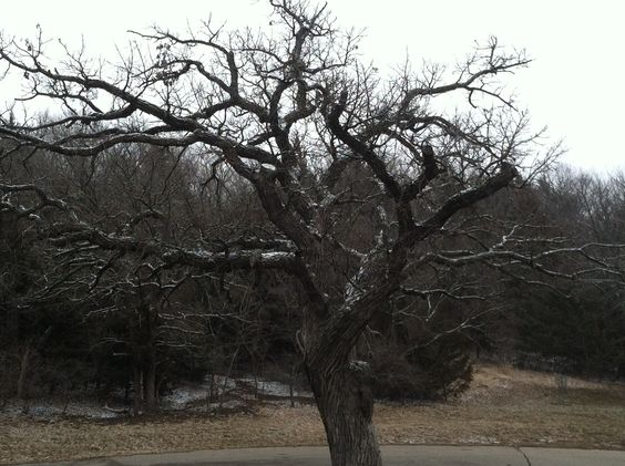 A touch of snow on a tree in Kansas