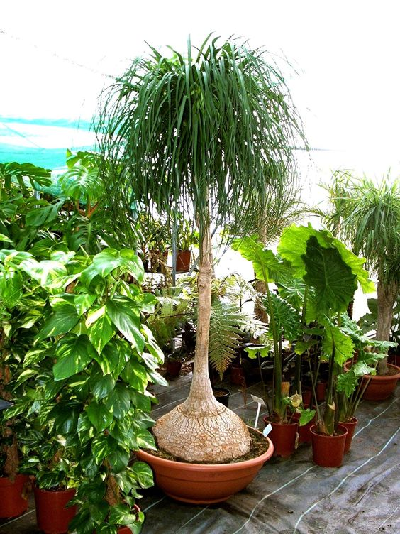 Int rieur vert arbuste beaucarn a flore de l le de for Plante arbuste interieur