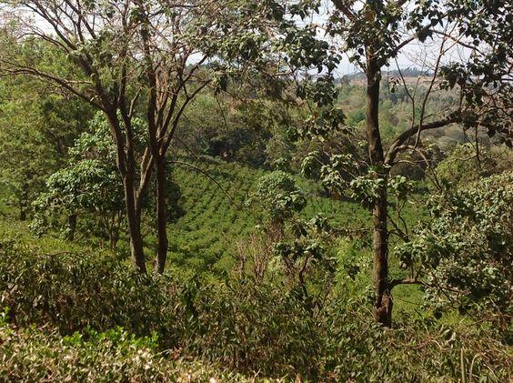 Coffee farm, Arusha region, Tanzania
