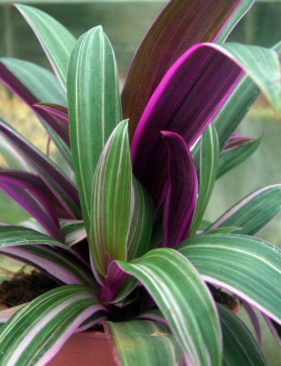 15 Houseplants With Fantastic Purple Foliage | Purple plants ... on house plants with colorful leaves, indoor plant identification by flower, house plants and their names, house plant propagation, shrubs that flower, house plant white flower, house plant with curly leaves, house identify plant by leaf, house plant pink flower, house with flowers, house plant with heart shaped leaves, indoor plant with white flower, house plants with red veins, palms that flower, house plant identification succulent plant, house plant with green leaves and white, indoor flowering plants flower, grass that flower, house plants with large leaves, house plants for fall,