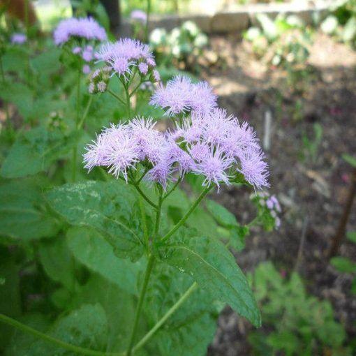 Ageratum Blue Mistflower Vincent Gardens Fall Perennials Perennials Pollination