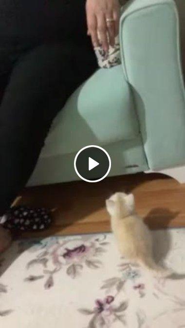 Filhote de gato tentando saltar para subir ao sofá mas não consegue