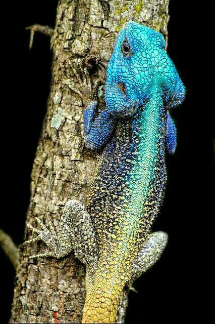 Male Blue Headed Agama Lizard Agamidae Lizard Amphibians Unusual Animals