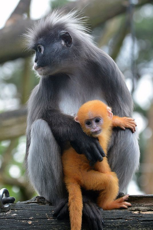 Dusky Leaf Monkey & Young: