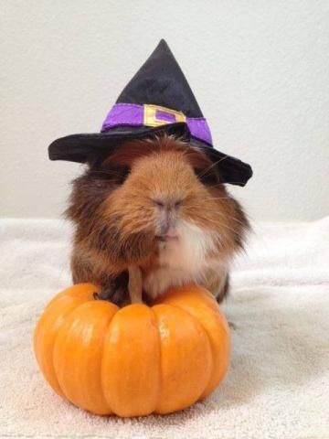PetsLady's Pick: Cute Halloween Guinea Pig Of The Day...see more at PetsLady.com -The FUN site for Animal Lovers