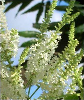 Aloysia Sweet Almond Bush - Sweet Fragrance! - Half Gallo... http://www.amazon.com/dp/B01EXEIDJ8/ref=cm_sw_r_pi_dp_.Wkwxb14F0XQN