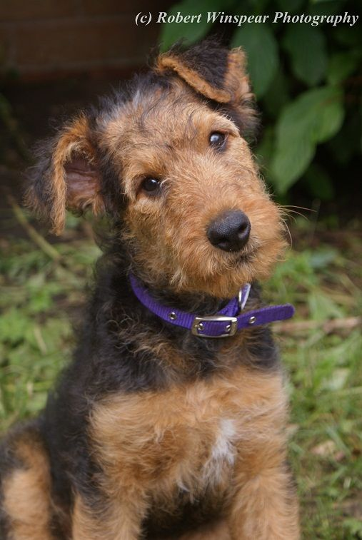 11 week old airedale terrier puppy and they called it. Black Bedroom Furniture Sets. Home Design Ideas