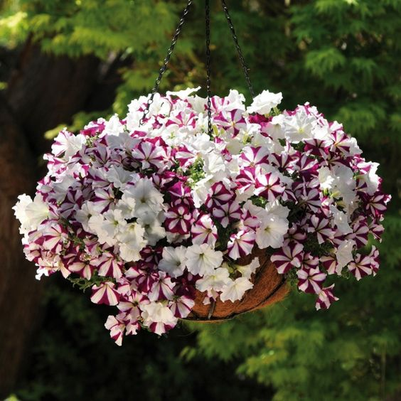 Best Hanging Flowers For Baskets : Best flowers for hanging baskets buy petunia waterfall