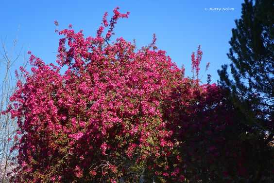 Crab apple tree blooming during April in Boise, Idaho. ©Photo copyright by Marty Nelson.  Photographer website:  http://martynelsonphotoart.wix.com/mn-photo-art
