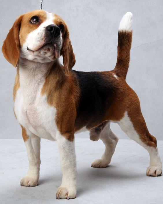 beagle breeders ny