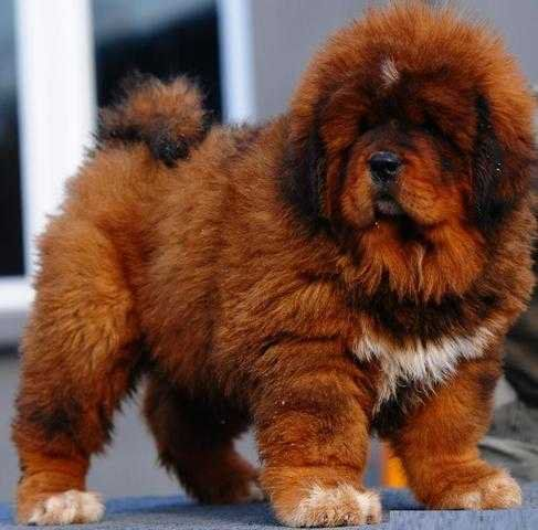 Chinese Fire Red Tibetan Mastiff For Sale Adoption From Calgary