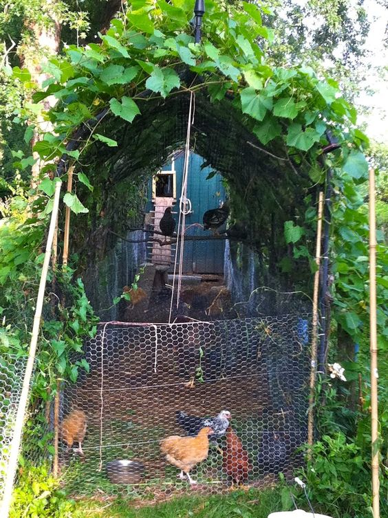 .chicken wire makes a great arbor for morning glory and climbing vines. Great to provided shade for the girls. Can also use pole beans .