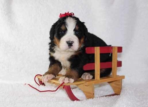 Jingle Puppy For Sale Bernese Mountain Dogs Vip Puppies