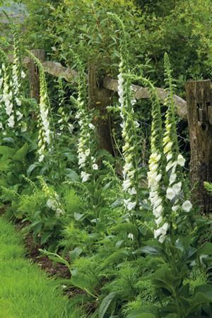 Digitalis Purpurea 'Alba' (white foxgloves). these would look good out the back amongst the hedgey area- white lights up a shady space. Also foxgloves are tough and would be tolerant of the dryness there...