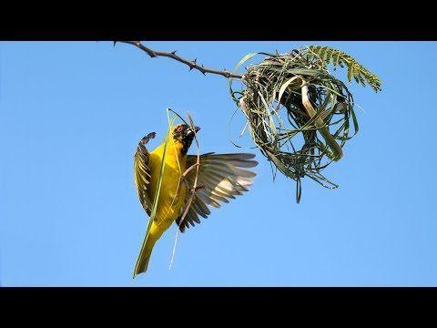 Bird Building Nest Video