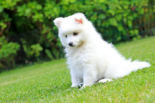 Japanese Spitz puppy ♥ want it more than anything!