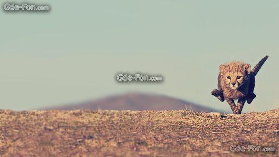 Download Hintergrund Gepard, Rate, Baby, Geparden Freie desktop Tapeten in der Auflosung 1920x1080 — bild №417007