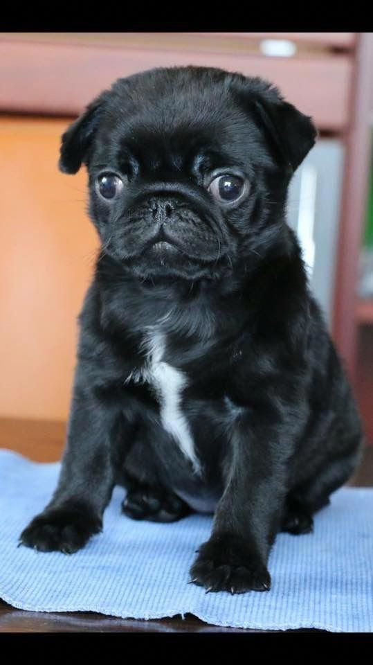 Exceptional Pug Puppies Information Is Offered On Our Website