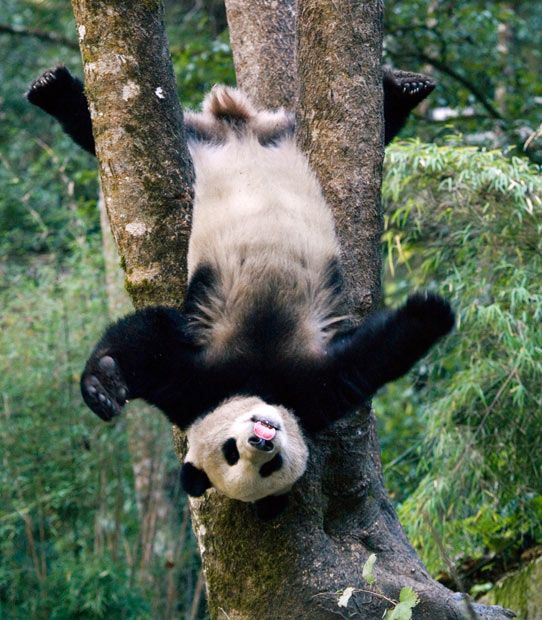 A giant panda cub shows off its gymnastics skills by hanging upside down from a tree, while also sticking out its tongue. Photographer Mitsuaki Iwago captured the scene at the Wolong National Nature Reserve in Sichuan, China. Picture: Mitsuaki Iwago/Minden/Solent
