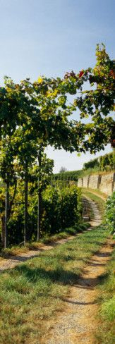 Gravel Road Passing Through Vineyards, Germany Decalcomania da muro